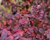 Berberis thunbergii atropurpurea (Purple Japanese Barberry) seeds - RP Seeds