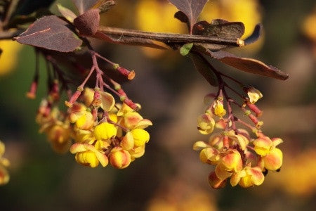 Berberis thunbergii atropurpurea - Purple Japanese Barberry