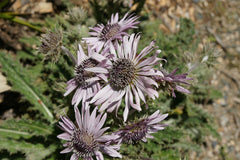Berkheya purpurea - South African Thistle