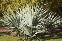 Brahea armata (Mexican Blue Palm) seeds - RP Seeds