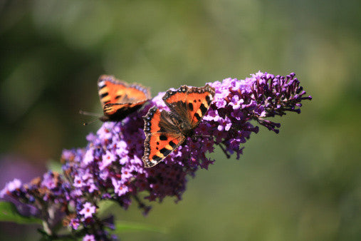 Buddleia davidii - Butterfly Bush