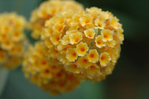 Buddleia globosa - Orange Ball Tree