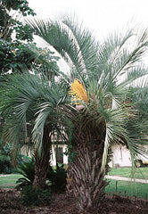 Butia capitata - Jelly Palm