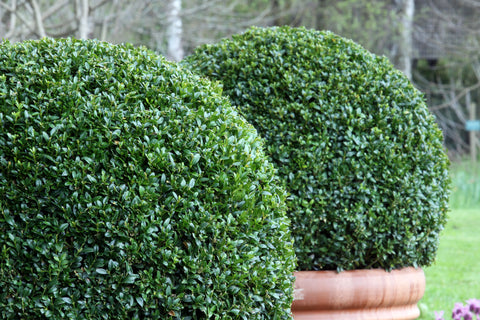 RP Seeds Buxus microphylla - Chinese Boxwood