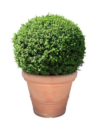 Buxus sempervirens - Box