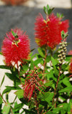Callistemon citrinus (Crimson Bottlebrush) seeds
