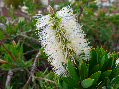 Callistemon pallidus (Lemon Bottlebrush) seeds - RP Seeds