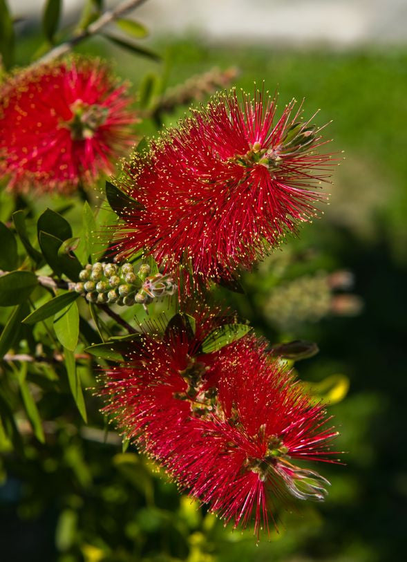Callistemon rigidus - Stiff Bottlebrush