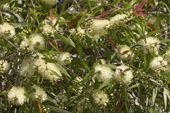 Callistemon salignus (Willow Bottlebrush) seeds - RP Seeds
