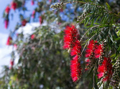 Callistemon viminalis (Weeping Bottlebrush) seeds - RP Seeds