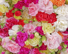 Carnation Hardy Border Mixed seeds - RP Seeds