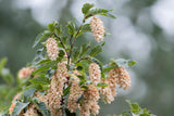 Carpinus betulus (Common Hornbeam) seeds - RP Seeds