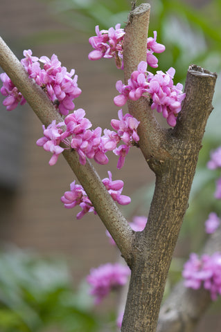 RP Seeds Cercis chinensis - Chinese Redbud Tree