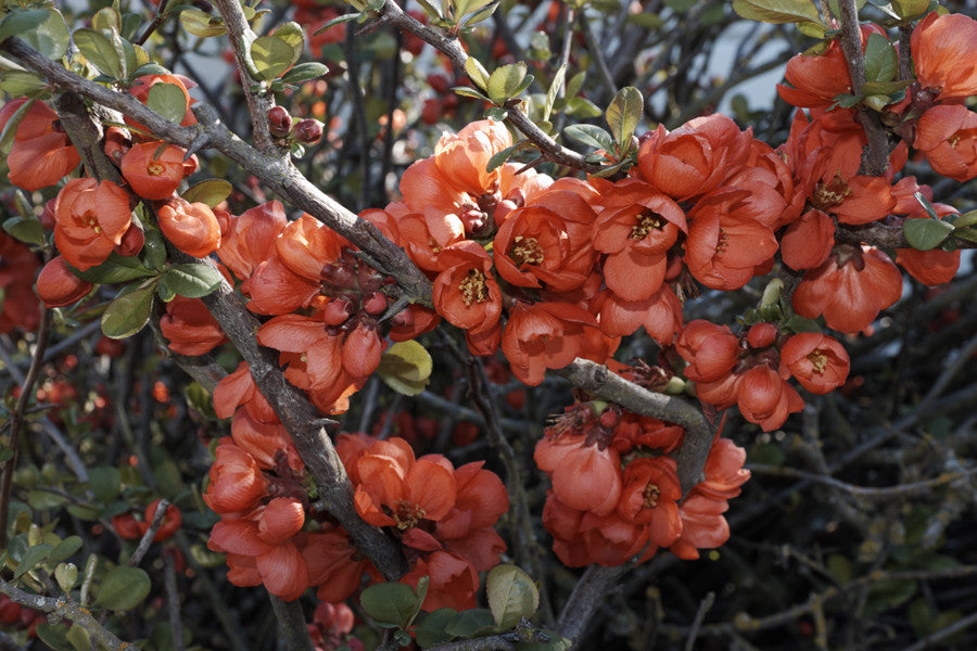 Chaenomeles japonica - Flowering / Japanese Quince