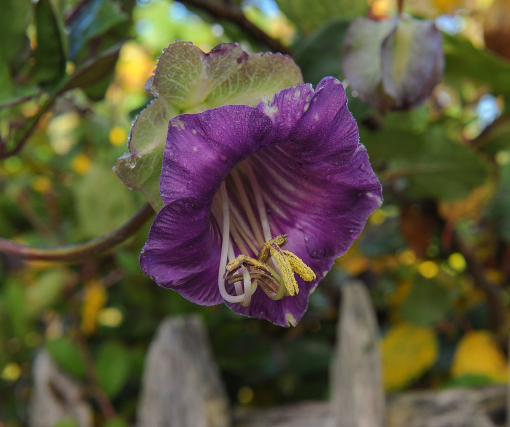 Cobaea scandens (Cup and Saucer Plant)