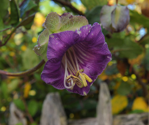 Cobaea scandens (Cup and Saucer Plant) - RP Seeds