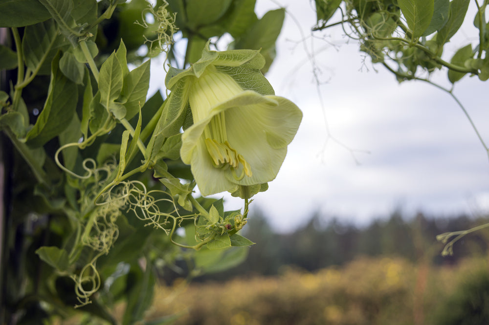Cobaea scandens alba (Cup and Saucer Plant)