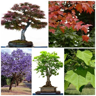 Bonsai Tree Seed Collection 2 - 5 Packets - RP Seeds