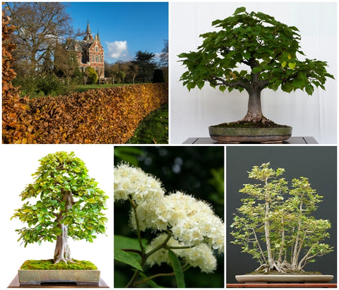 British Native Tree Seed Collection - 5 Packets - RP Seeds