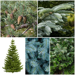 Christmas Tree Seed Collection - 5 Packets - RP Seeds