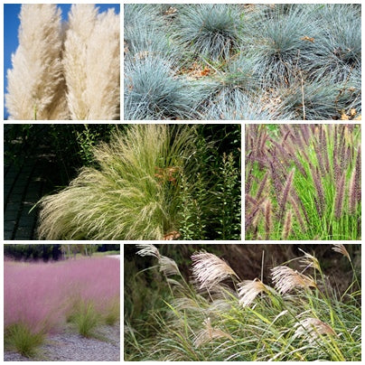 Ornamental Grass Seed Collection - 6 Packets - RP Seeds