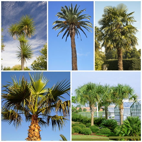 Palm Tree Seed Collection - 5 Packets - RP Seeds