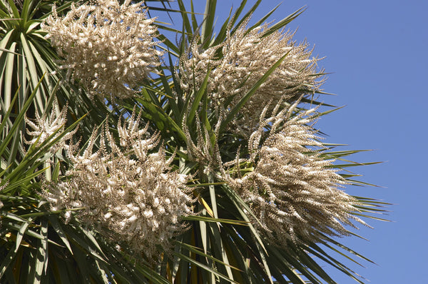 Rp Seeds Cordyline Australis Cabbage Palm 30 Seeds 1 95