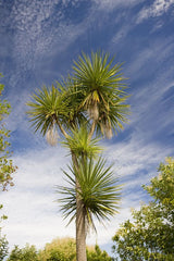 Cordyline australis - Cabbage Palm