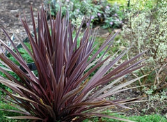 Cordyline australis purpurea - Cabbage Palm