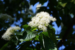 Cornus controversa (Wedding Cake Tree) seeds - RP Seeds