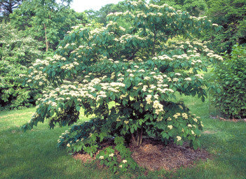 Rp Seeds Cornus Controversa Wedding Cake Tree 20 Seeds 1 99