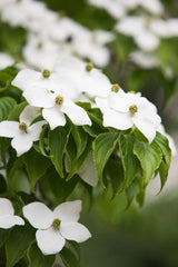 Cornus kousa chinensis Milky Way - Chinese Dogwood