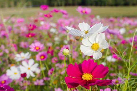 RP Seeds Cosmos bipinnatus Dwarf Wonder Mix seeds