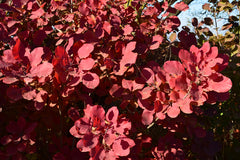 Cotinus coggygria (Smoke Bush) seeds - RP Seeds
