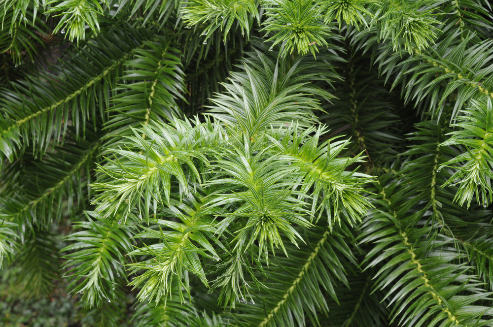Cunninghamia lanceolata (Chinese Fir) seeds - RP Seeds