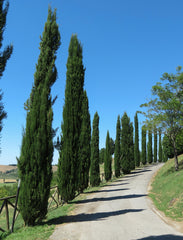 Cupressus sempervirens (Italian Cypress) seeds - RP Seeds