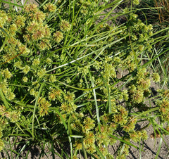 Cyperus glaber seeds - RP Seeds