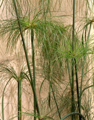Cyperus papyrus - Egyptian Paper Reed
