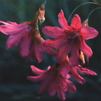 Dierama igneum (Angel's Fishing Rod) seeds - RP Seeds