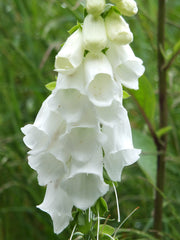 Digitalis purpurea alba (Foxglove) seeds - RP Seeds