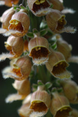 Digitalis ferruginea (Rusty Foxglove) seeds - RP Seeds