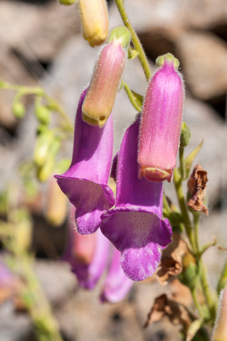 Digitalis thapsi (Spanish Foxglove) seeds