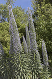Echium pininana Blue Steeple (Tower of Jewels) seeds - RP Seeds
