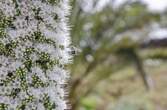 Echium pininana Snow Tower (Tower of Jewels) seeds - RP Seeds