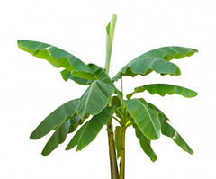 Ensete ventricosum (Abyssinian Banana) seeds - RP Seeds