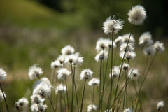 Eriophorum vaginatum (Hare's Tail Cottongrass) seeds - RP Seeds