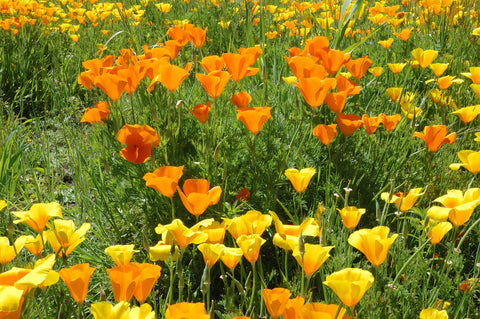 Eschscholzia californica Single Mix (California Poppy) seeds - RP Seeds