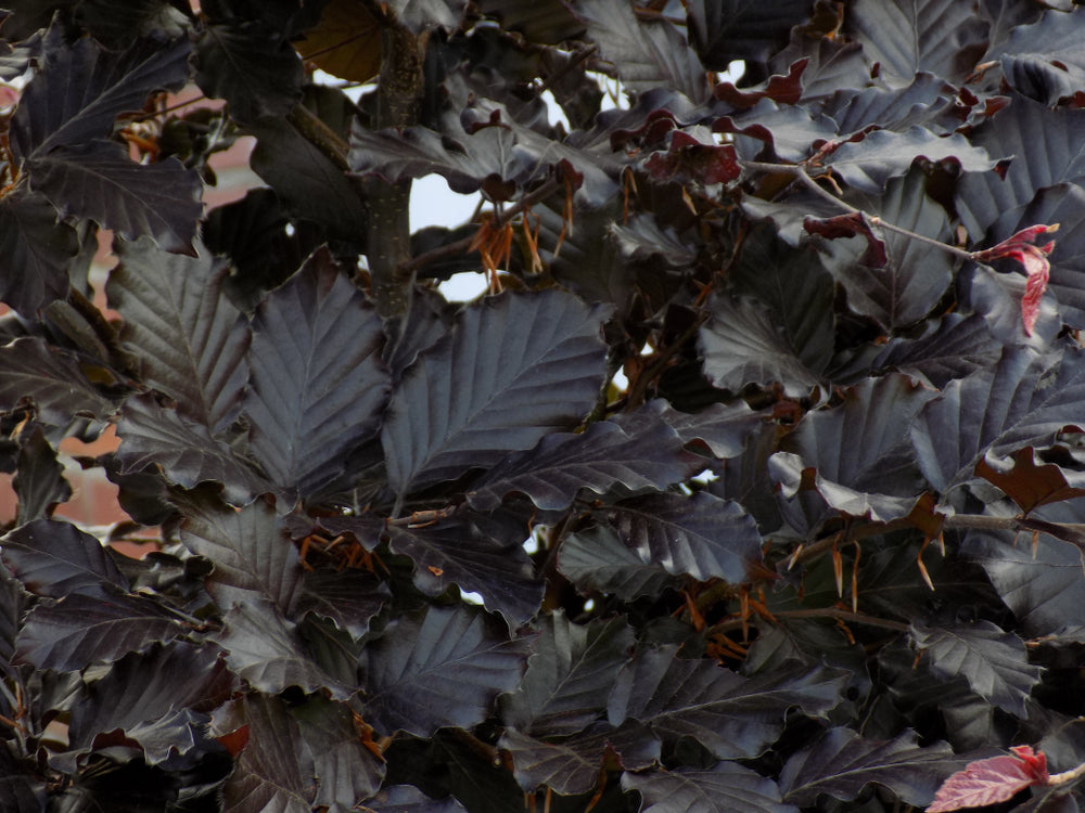 Fagus sylvatica atropurpurea (Copper/Purple  Beech) seeds