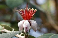 Feijoa sellowiana (Fruit Salad Bush) seeds - RP Seeds