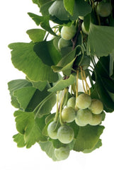 Ginkgo biloba (Maidenhair Tree) seeds - RP Seeds